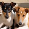 Tri-colour Smooth Collie